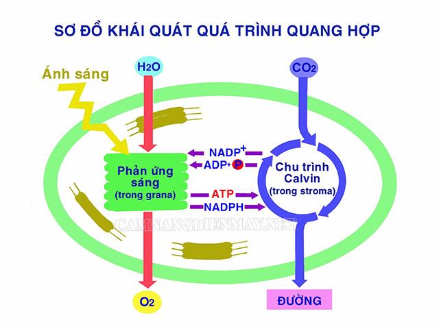Sơ đồ cơ chế thực hiện quá trình quang hợp dựa vào nhiều yếu tố khác nhau